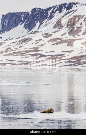 Atlantic walrus (Odobenus rosmarus rosmarus) hauled out on ice near Cape Fanshawe, Spitsbergen, Svalbard, Norway, - Stock Photo