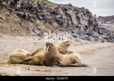 Male Atlantic walrus (Odobenus rosmarus rosmarus) hauled out to molt at Kapp Lee, Edgeoya, Svalbard, Norway, Scandinavia, - Stock Photo