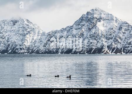 Adult black guillemots (Cepphus grylle) at Signehamna, Krossfjord, Svalbard, Norway, Scandinavia, Europe - Stock Photo