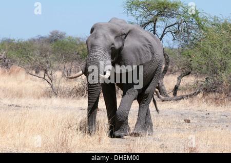 African elephant (Loxodonta africana), Savuti, Chobe National Park, Botswana, Africa - Stock Photo