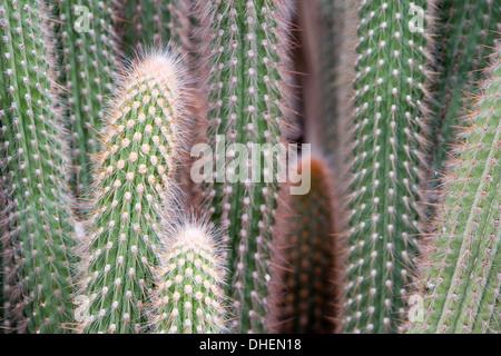 Cactus, Ferocactus Glaucescens Britton & Rose, Jardin Botanico (Botanical Gardens), Valencia, Costa del Azahar, - Stock Photo