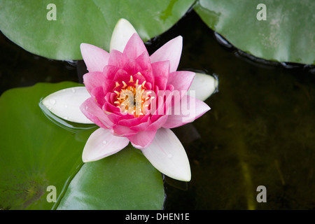 Pink water lily in pond, Jardin Botanico (Botanical Gardens), Valencia, Costa del Azahar, Spain, Europe - Stock Photo