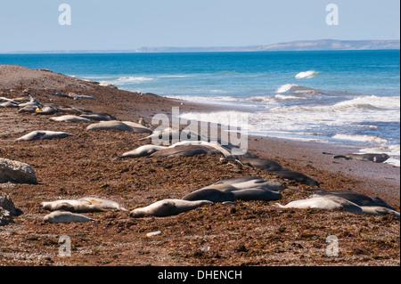 Elephant seals on Punta Ninfas, Chubut, Argentina - Stock Photo