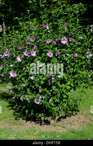 A flowering shrub, Hibiscus syriacus, on the banks of the Dordogne, Gironde, France - Stock Photo