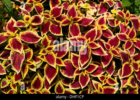 An attractive foliage plant Coleus with red leaves and a gold / yellow border, St Emilion, France, August - Stock Photo