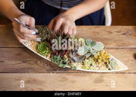 Woman tending to succulent plants - Stock Photo