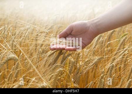 Hand touching wheat - Stock Photo