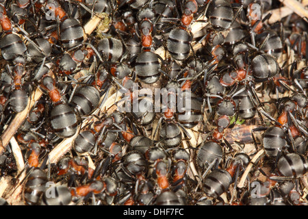 Black-backed meadow ant, Formica pratensis - Stock Photo