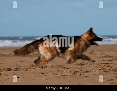 German Shepherd running on the beach, Bude, Cornwall, UK - Stock Photo