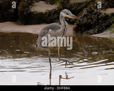 Grey Heron, Ardea cinerea fishing in a rock pool at the beach, Bude, Cornwall, UK - Stock Photo