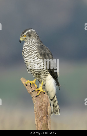 Goshawk Accipiter gentilis - Stock Photo