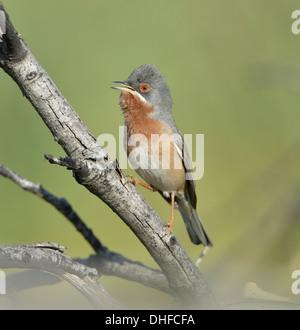 Eastern Subalpine Warbler - Sylvia cantillans albistriata - Stock Photo