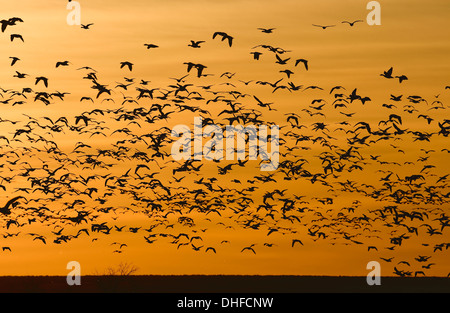 Snow Goose - Chen caerulescens - Flock in Flight - Stock Photo