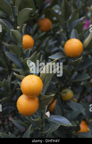 Kumquat fruits on tree - Stock Photo