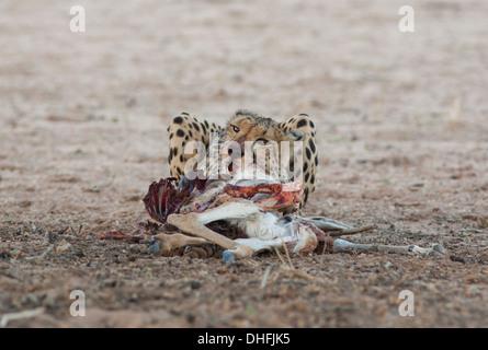 Female Cheetah with kill in the kalahari - Stock Photo