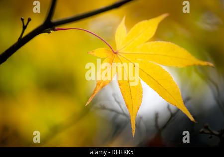 Yellow Autumn maple leaf - Stock Photo
