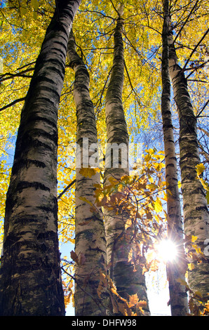 autumn time forest beautiful  birches and sunlight - Stock Photo