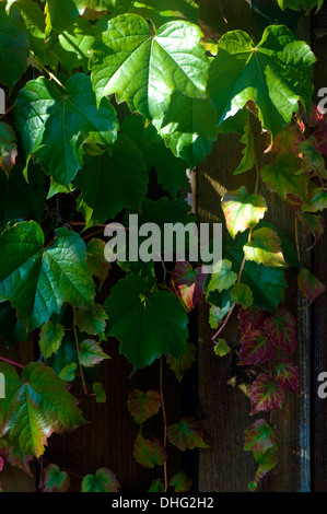 Green Ivy growing on a wooden fence. - Stock Photo
