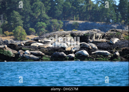 A herd of Harbor Seals - Stock Photo