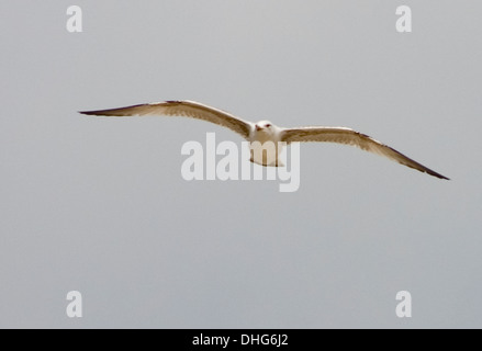 Herring Gull, Larus argentatus, flying in the sky - Stock Photo