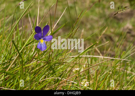 Single Pansy left of frame in landscape - Stock Photo