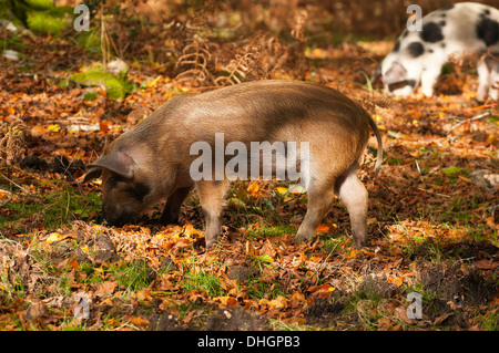 New Forest Pigs Foraging for Acorns The New Forest Hampshire England UK - Stock Photo