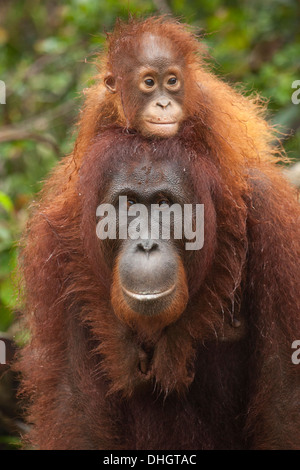 Wild Bornean Orangutan (Pongo pygmaeus) baby with arms around mother's neck - Stock Photo
