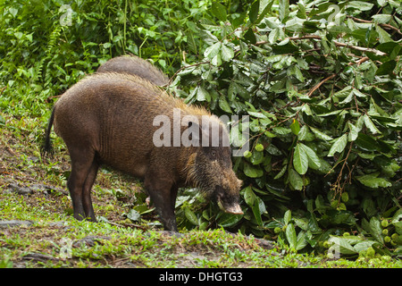 Bornean Bearded Pig (Sus barbatus) foraging at forest edge in Tanjung Puting National Park - Stock Photo