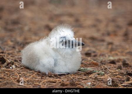 Red-tailed Tropicbird (Phaethon rubricauda rothschildi) chick - Stock Photo