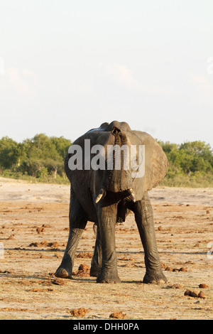 African elephant trunk raised - Stock Photo
