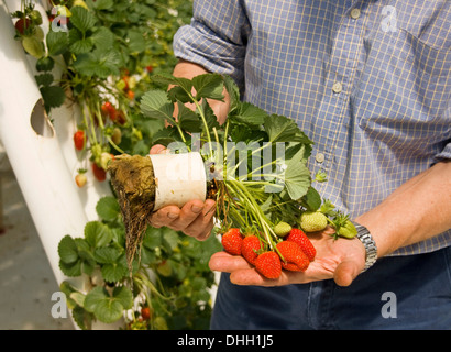 Man holding strawberry plant grown in commercial hydroponic system showing root growth, healthy leaves and bunch - Stock Photo
