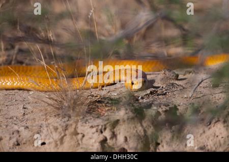 Cape Cobra (naja nivea) South Africa - Stock Photo