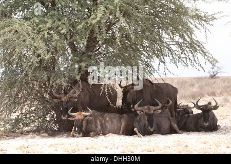 Blue Wildebeest (connochaetes taurinus) herd resting under the shade of a tree in the Kalahari desert, South Africa