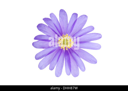 Single blue Anemone blanda flower isolated on white background with point of focus on centre flower - Stock Photo