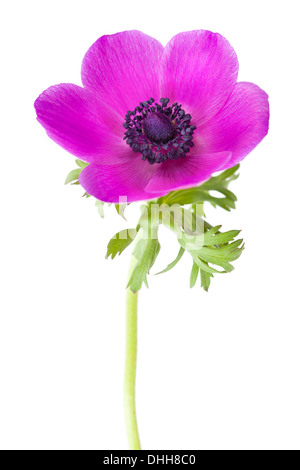 Anemone coronaria flower isolated on white background with shallow depth of field - Stock Photo