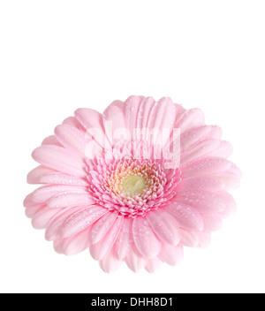 Gerbera Flower isolated on white background. - Stock Photo