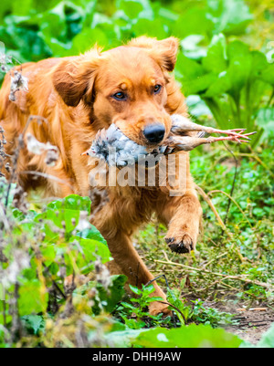 A Retriever Carrying A Red Or French Partridge At A Gun