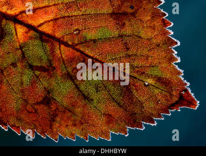 Duesseldirf, Germany. 11th Nov, 2013. Hoar frost covers an autumnally colored leaf in Duesseldirf, Germany, 11 November - Stock Photo
