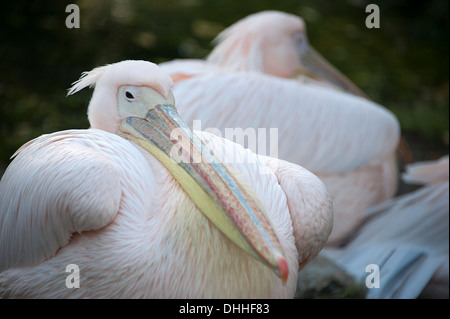 Great white elegant pelican in London Zoo. - Stock Photo
