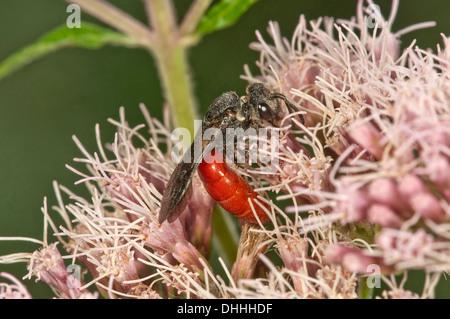 Blood Bee (Sphecodes albilabris) on Hemp-agrimony (Eupatorium cannabinum), Baden-Württemberg, Germany - Stock Photo