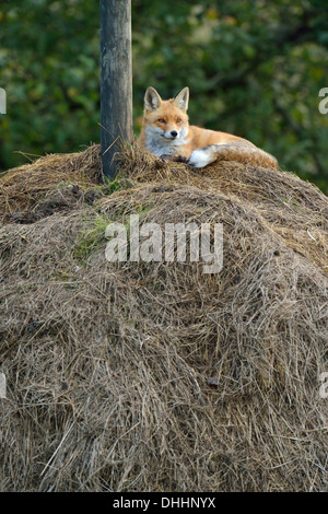 Red Fox (Vulpes vulpes) lying on a haystack, Canton of Zurich, Switzerland - Stock Photo
