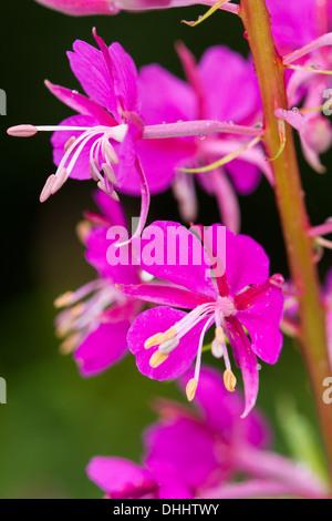 Close-up of Rosebay Willowherb (Chamerion angustifolium) flowers