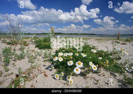 Camomile on the beach of Wustrow peninsula, Salzhaff, Mecklenburg Western Pomerania, Germany, Europe - Stock Photo