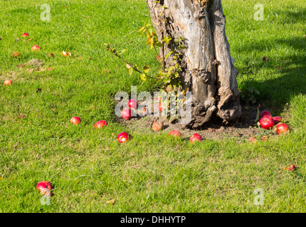 Fallen apples from an apple tree in an orchard - Stock Photo