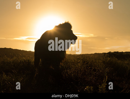 Silhouette of an old large male lion in the savannah in South Africa at sunset - Stock Photo