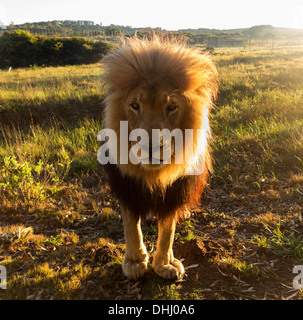 Close up of an old large male lion looking at the camera, backlit, South Africa - Stock Photo