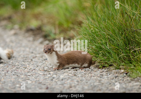 Stoat on roadside with dead Rabbit. - Stock Photo