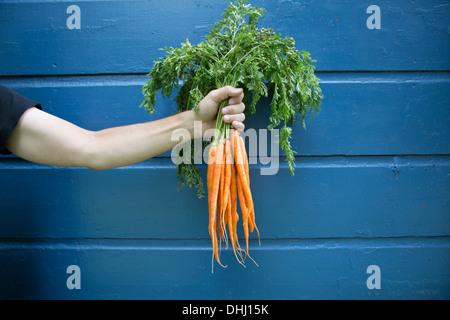Man holding bunch of organic carrots - Stock Photo