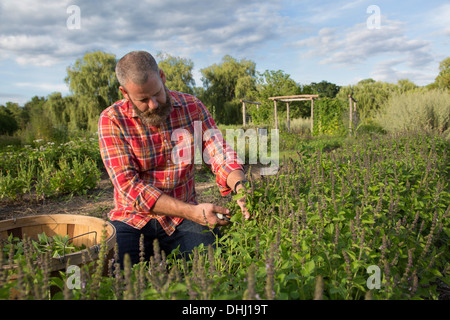 Mature man working on herb farm - Stock Photo