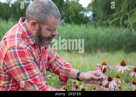 Mature man checking echinacea on herb farm - Stock Photo